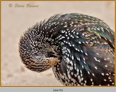 starling-35.jpg