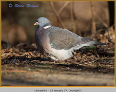 wood-pigeon-03.jpg