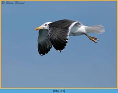 lesser-black-backed-gull-101.jpg