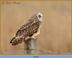 short-eared-owl-48.jpg