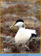 eider-duck- 51.jpg