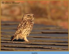 little-owl-56.jpg