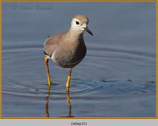 white-tailed-lapwing-31.jpg