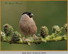 bullfinch-39.jpg