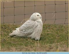 snowy-owl-04.jpg