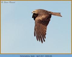 black-kite-18.jpg