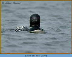 great-northern-diver-53.jpg