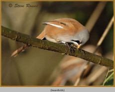 bearded-tit-06c.jpg