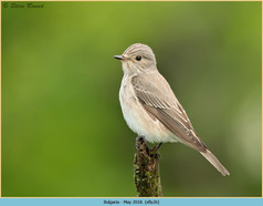 spotted-flycatcher-26.jpg