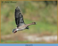 pink-footed-goose-93.jpg