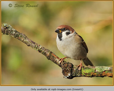 tree-sparrow-41.jpg