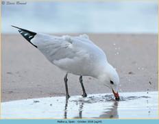 audouin's-gull-24.jpg