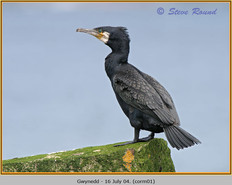 cormorant-01.jpg