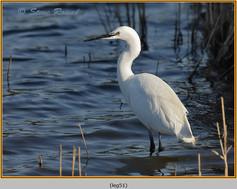 little-egret-51.jpg