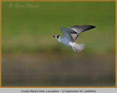 white-winged-black-tern-09.jpg