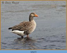 greylag-goose-22.jpg