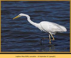 great-white-egret-01.jpg