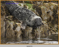grey-seal-14.jpg