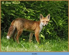 fox-80.jpg