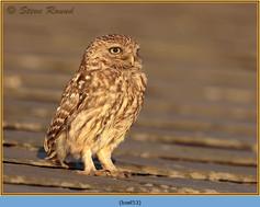 little-owl-53.jpg