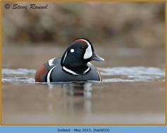 harlequin-duck-33.jpg