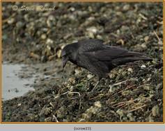 carrion-crow-23.jpg