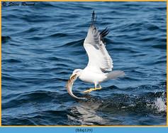 lesser-black-backed-gull-129.jpg