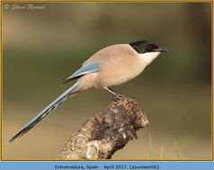 azure-winged-magpie-06.jpg