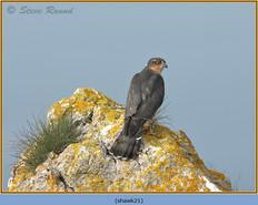 sparrowhawk-21.jpg