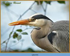 grey-heron-64.jpg