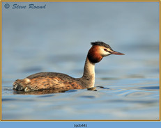 great-crested-grebe-44.jpg