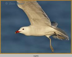 audouin's-gull-06.jpg