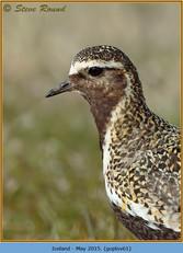 golden-plover-61.jpg