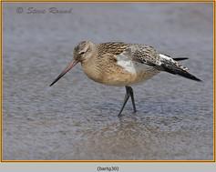 bar-tailed-godwit-30.jpg