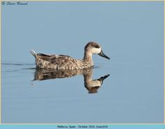 marbled-duck-14.jpg