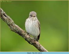spotted-flycatcher-32.jpg