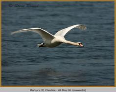 mute-swan-16.jpg