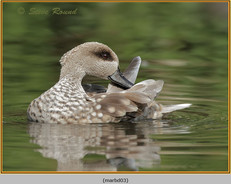 marbled-duck-03c.jpg
