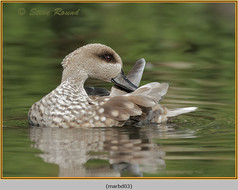 marbled-duck-03c.jpg