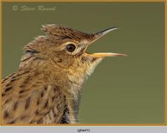 grasshopper-warbler-41.jpg