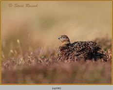 red-grouse-106.jpg