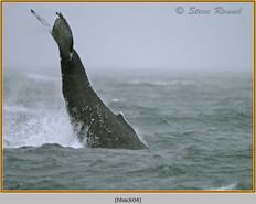 humpback-whale-04.jpg