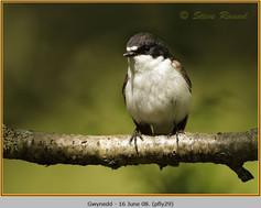 pied-flycatcher-29.jpg