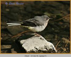 grey-wagtail-17.jpg