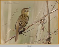 grasshopper-warbler-27.jpg