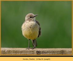 yellow-wagtail-03.jpg
