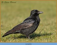 carrion-crow-52.jpg