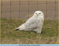 snowy-owl-05.jpg