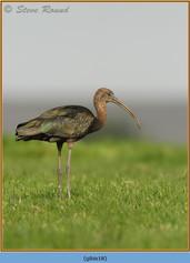 glossy-ibis-18.jpg