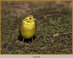 yellowhammer-48.jpg